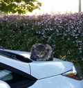 Corporate cat on car 1024